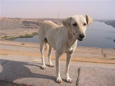 egypt.stray.dog.high.dam.aswan.jpg