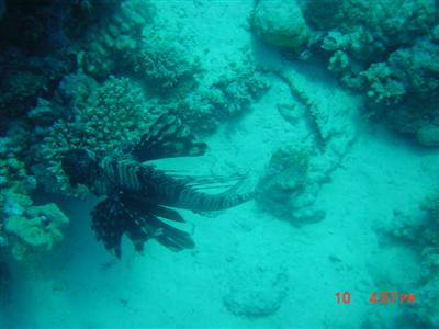 lionfish.diving.red.sea.jpg