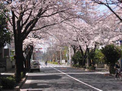 japan.mitaka.sakura.20050407.jpg