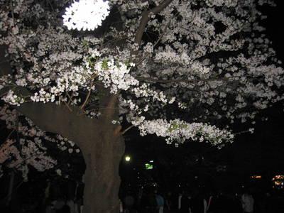 sakura.evening.jpg