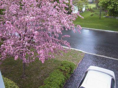 pink.tree.may2002.jpg