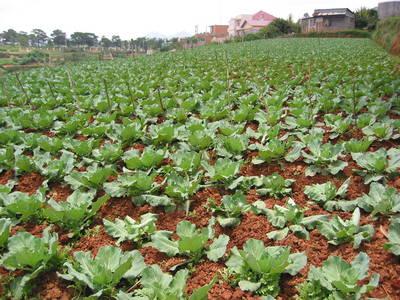 dalat.cabbage.field.jpg